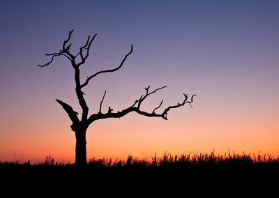 Dead tree at sunset in the Norfolk Countryside