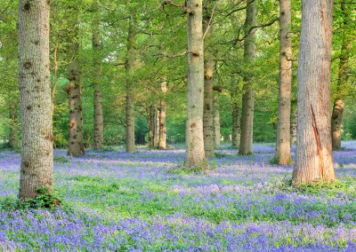 Bluebell Woodland near Blickling in Norfolk