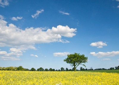 Oil Seed rape field near Dilham in the Norfolk Countryside