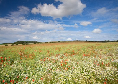 Poppy field and wildflowers near Burnham Market in Norfolk
