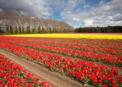Tulip fields at Narborough near Swaffham in the Norfolk Countryside