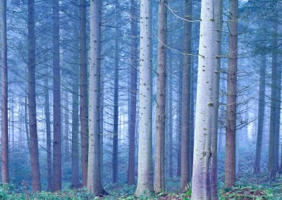 Bacton Woods on a misty morning in the Norfolk Countryside