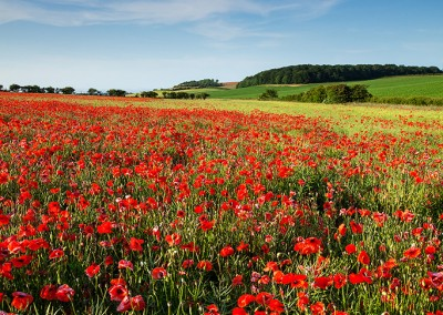 Summer poppy field just outside Burnham Market, North Norfolk
