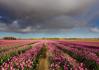 Tulip field at East Winch in the Norfolk Countryside