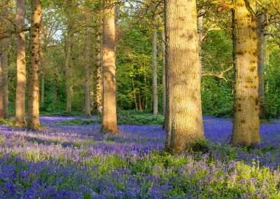 Spring Bluebells at Blickling Wood in Norfolk