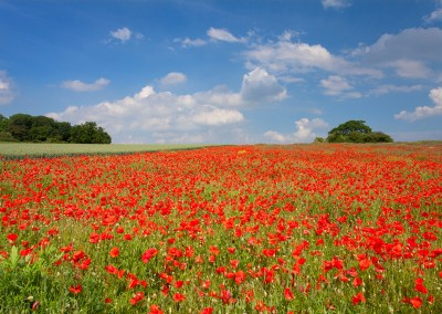 Poppy field at Castle Acre