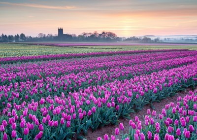 Tulip field at East Winch captured at dawn