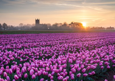 A tulip field in the Norfolk Countryside at dawn at with East Winch church in the distance.