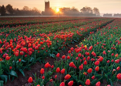 Sunrise over a tulip field in the Norfolk Countryside
