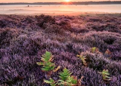 Roydon common and heather at sunrise in Norfolk