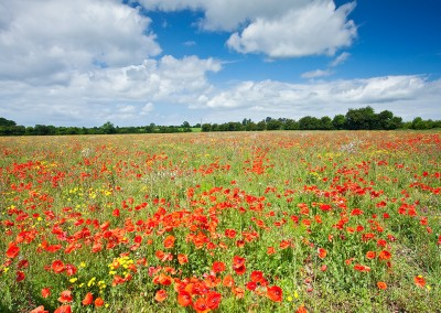 Summer poppy field captured near Castle Acre in the Norfolk countryside.