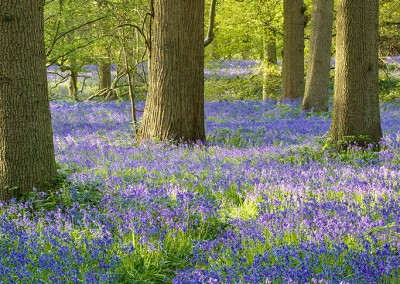 Bluebell Wood At Blickling, Norfolk