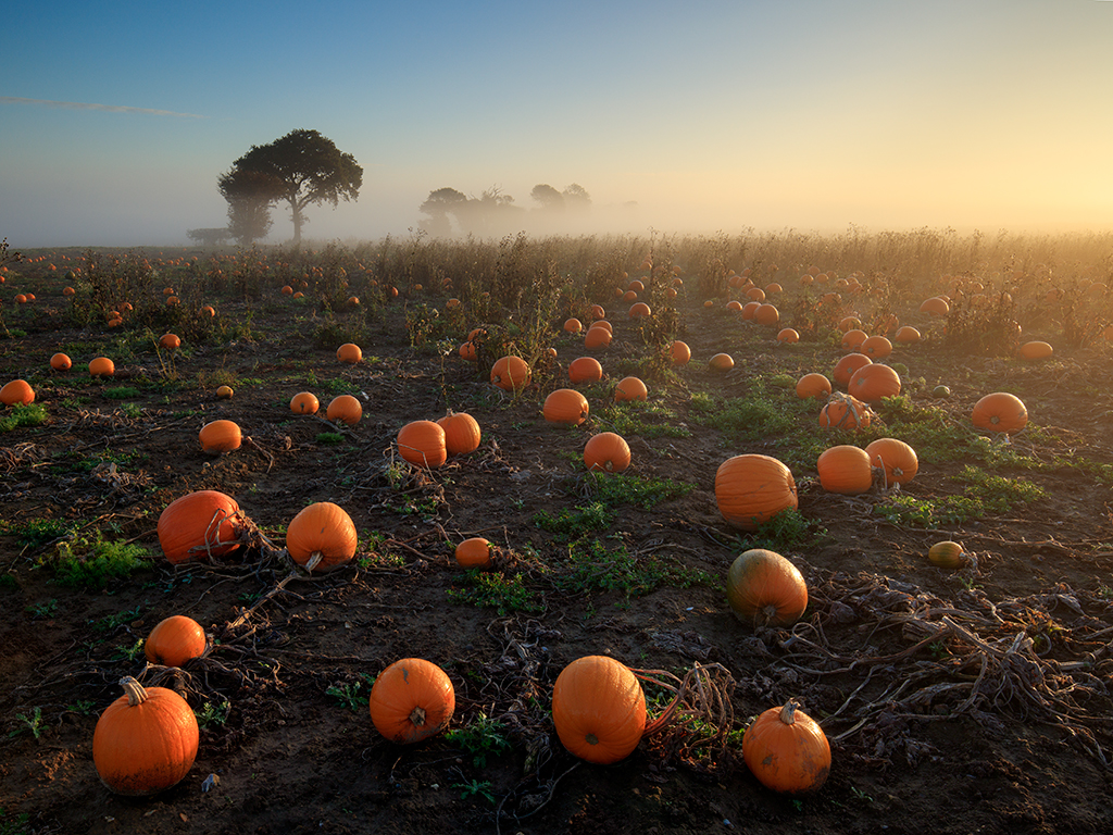 Pumkin field on a misty morning at sunrise, Norfolk
