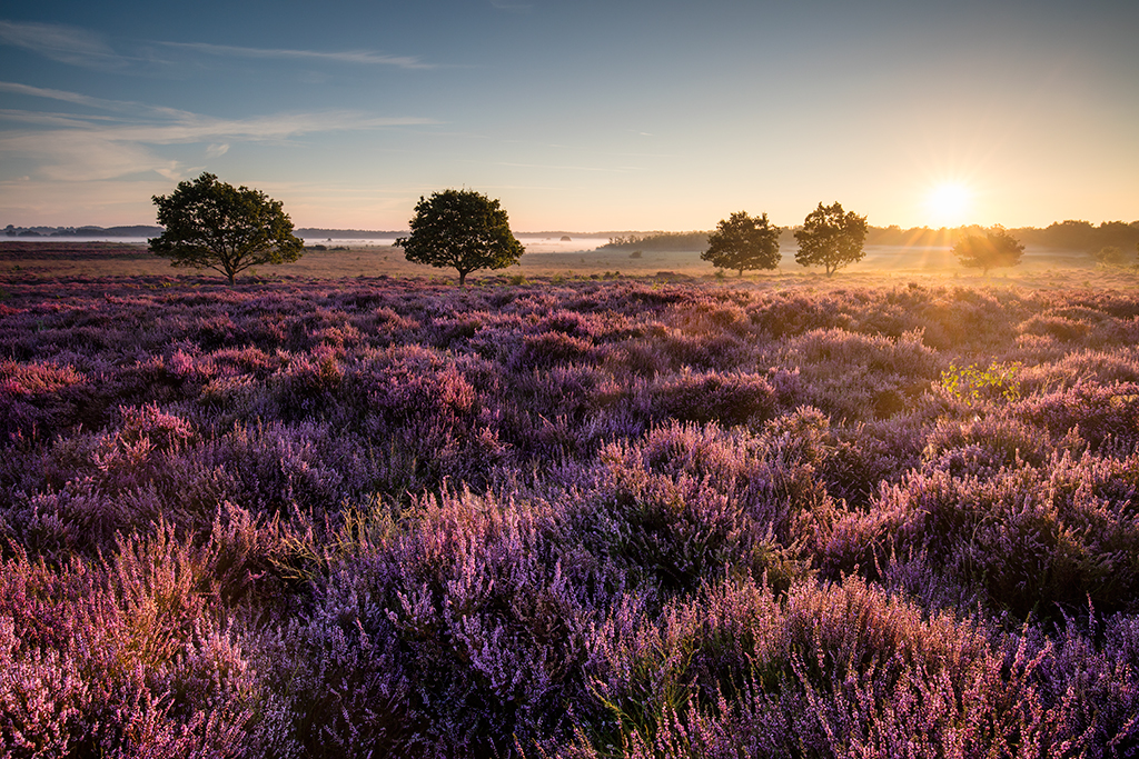 Heather at Roydon Common in Norfolk at sunrise